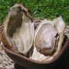 Plástico biodegradable a partir de semillas de mango